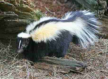 skunk rescue massachusetts