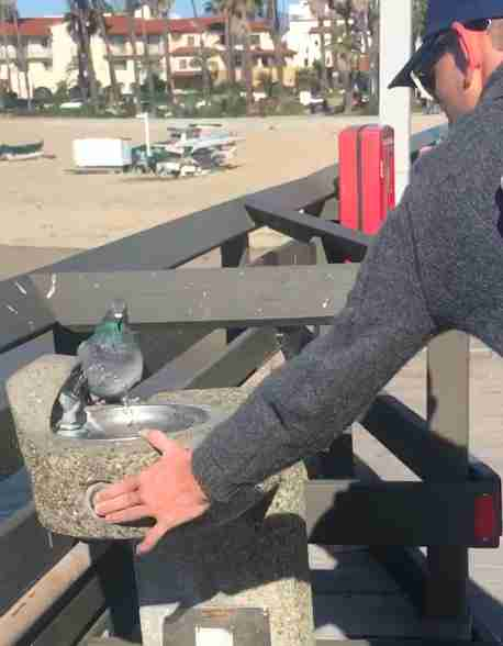Guy helps wild pigeon drink from water fountain