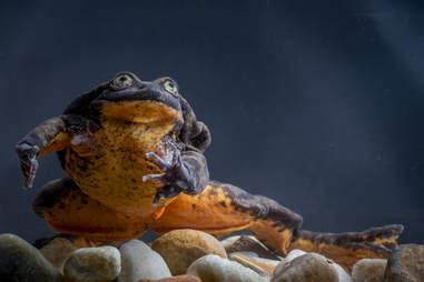 Loneliest frog on Earth, Romeo