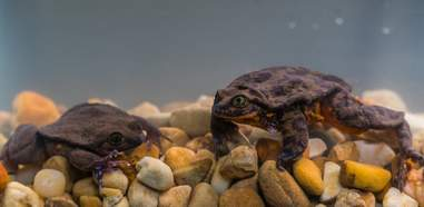 Rare frogs Romeo and Juliet
