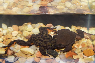 Rare frogs in conservation breeding program