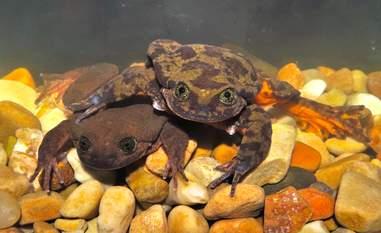 Sehuencas water frogs