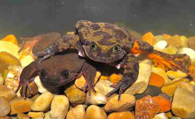 Sehuencas water frogs
