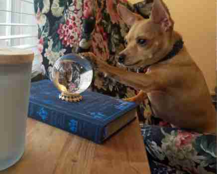 Chihuahua looks at people through crystal ball