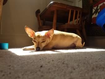 Baja the dog sleeps in the sun