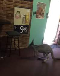 kangaroo hops through a bar