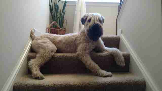 Terrier on stairs