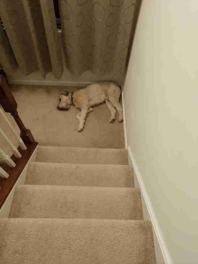 Sleepy terrier at bottom of stairs
