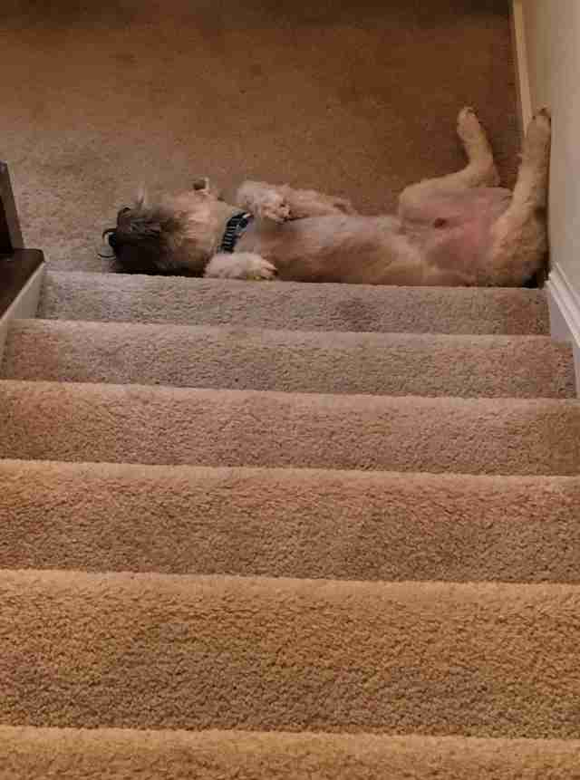 Sleepy terrier at bottom of steps