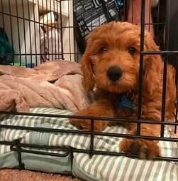 Goldendoodle puppy Bentley sleeps with his blanket