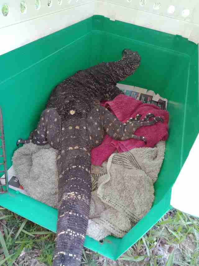 Hungry Lizard Gets A Bit Too Excited When She Sees A Nest Of 'Eggs'