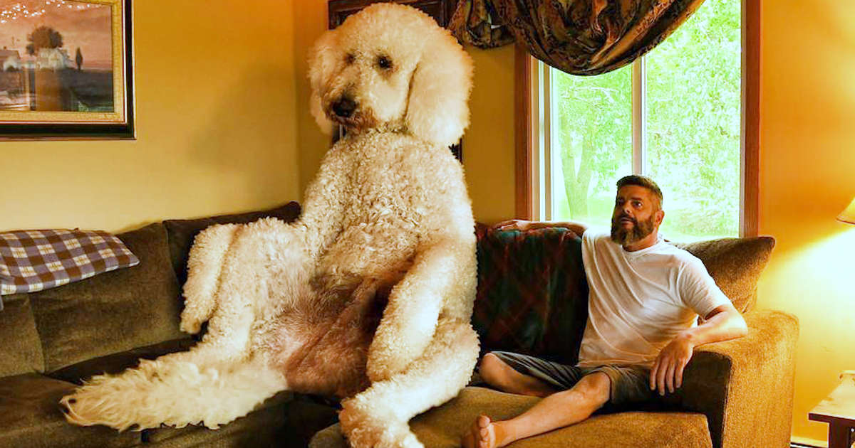 Giant Dog Weighs Over 450 Pounds Videos The Dodo