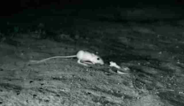Snake about to try to eat a kangaroo rat