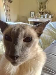 Senior Siamese cat with arthritis