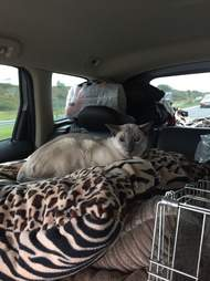 Siamese cat with arthritis in car