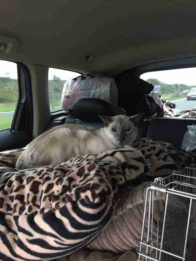 Siamese cat with arthritis in car