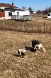Australian shepherd playing keep-away with rescued lamb