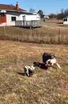 Australian shepherd playing keep-away with rescued lamb
