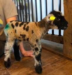 Lamb rescued from farm just before Easter