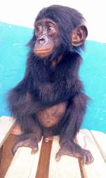 Orphaned baby bonobo