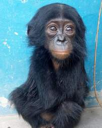 Baby bonobo saved from hunter
