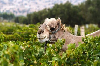 At the 'Val d'Argan' vineyard in the village of Ounara in the western region of Essaouira.
