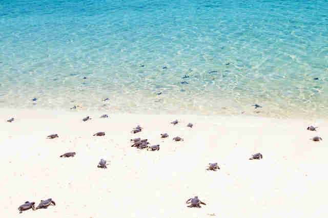 Sea turtle hatchlings making their way to the water