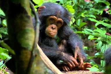 chimpanzee disneynature
