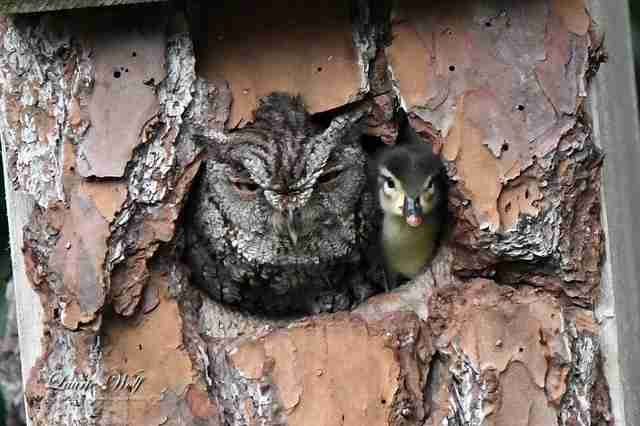 owl and duckling