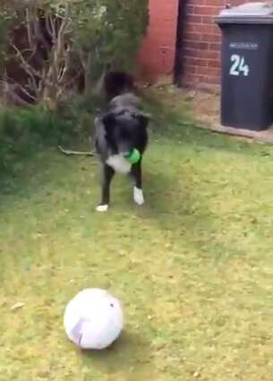 Dog playing football with postman in Scotland
