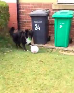 Dog playing soccer with postman when he delivers mail