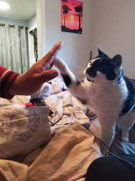 cat learns to give high fives