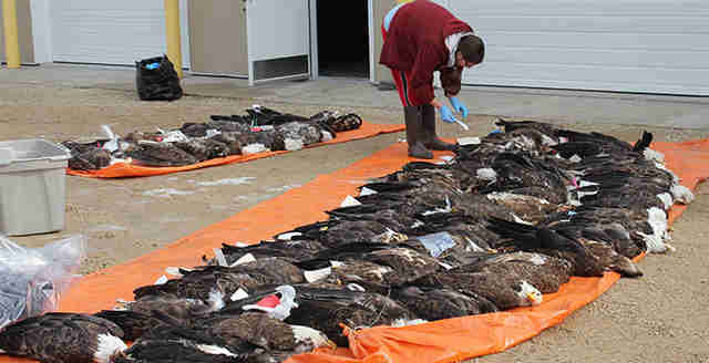 Bald eagles dead from lead poisoning