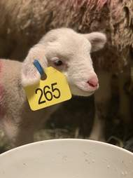 Mother sheep and baby lamb saved from Palm Sunday livestock auction