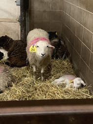 Sheep family saved from Palm Sunday auction in time for Easter