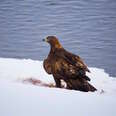 Famous golden eagle found dead of lead poisoning in Yellowstone