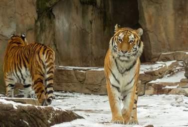 tiger zoo animal
