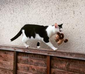 Rescued tuxedo cat who takes her toys on adventures in the UK
