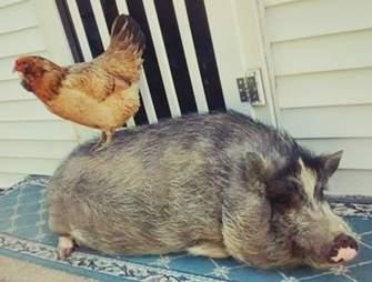 Potbellied pig and chicken bffs