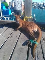 man gives kangaroo cpr