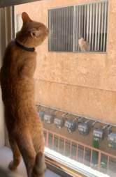 Cat falls in love with neighbor cat through window