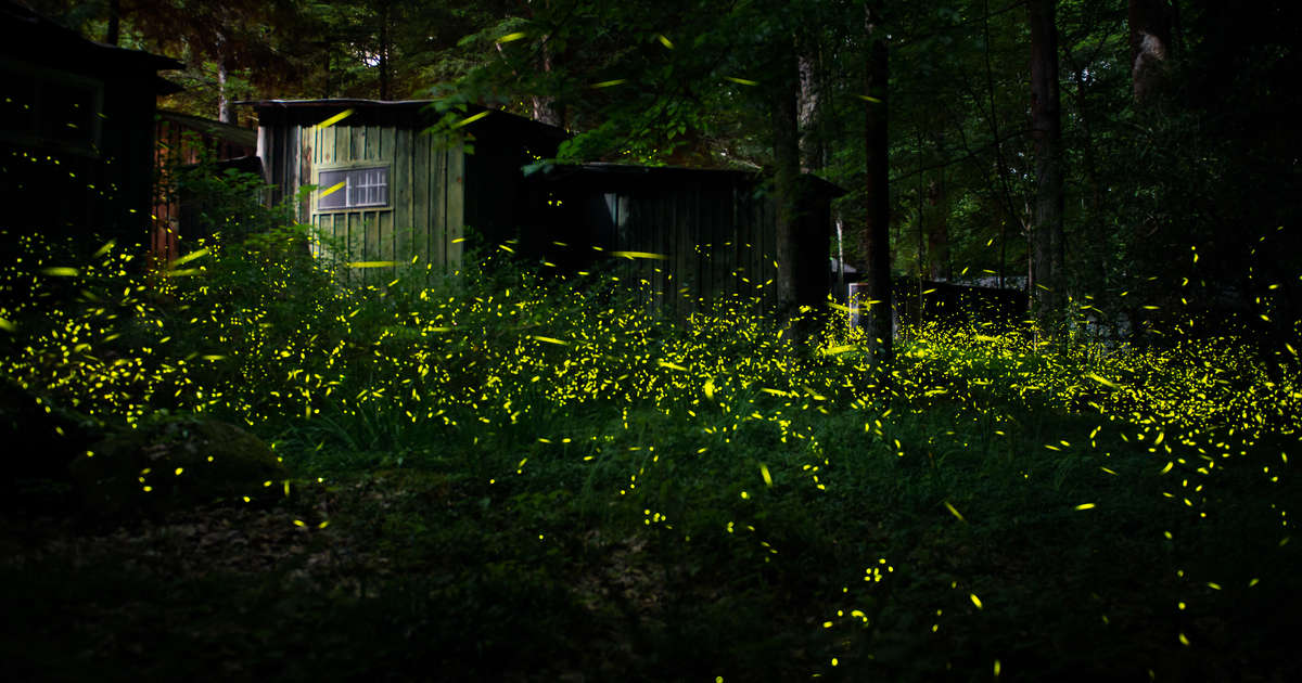 Huge Swarms of Fireflies Are About to Light Up the Great Smoky Mountains