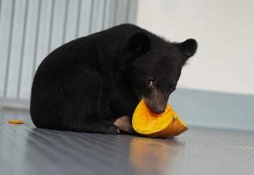 Asiatic black bear saved from smugglers