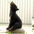 Rescued baby bears playing in their new jungle gym