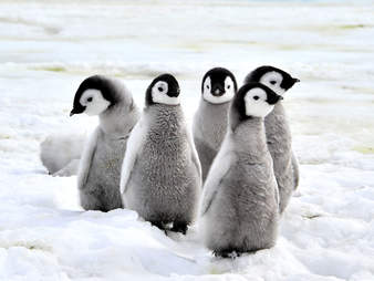 penguin baby antarctic