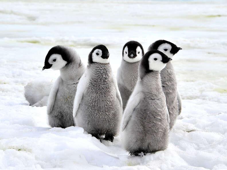 penguin baby antarctic