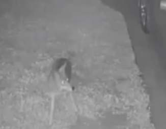 Coyote who chased away burglar in Los Angeles