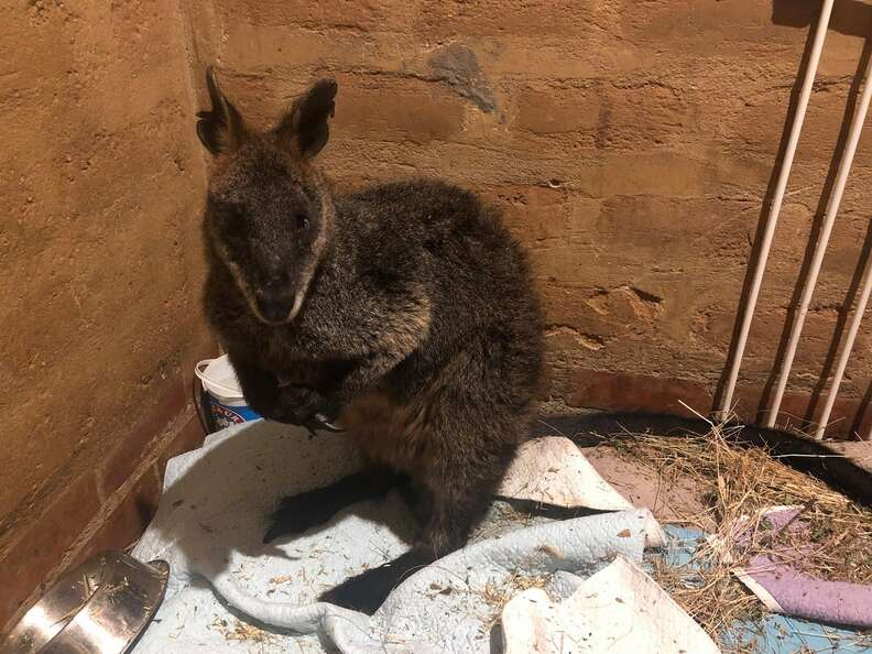 Wallaby getting saved from quicksand in Australia