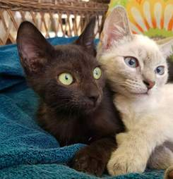 Bonded cats at Florida foster home