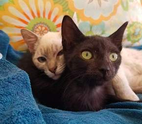 Bonded homeless cats at foster home
